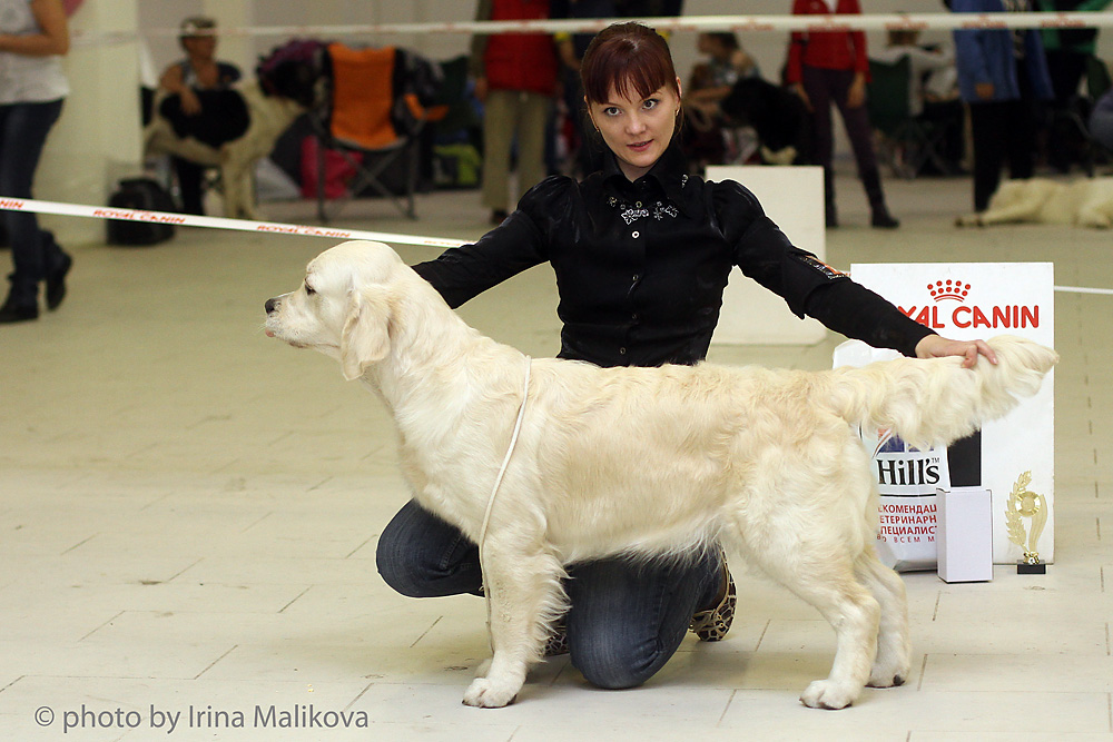 """Proudly present our young boy from Sweden!Goldfashion Othello """"Lars"""" (Goldfashion Diesel x Goldfashion Bed of Roses)   lovely son of Dior - available for stud!HD -AA, ED - 00 201506.09.15  - St.Petersburg.All-Breed Show, expert A.Belkin - Goldfashion Othello """"Lars"""" (Goldfashion Diesel x Goldfashion Bed of Roses) - CАС, BOB, BIG-3.and Lars finished the Champion of Russia!30.05.15 - Vyborg.GR Specialty,  expert Penny Gowland (kennel Remington, England) - Goldfashion Othello """"Lars"""" (Goldfashion Diesel x Goldfashion Bed of Roses) -  2 excellent intermediate class.Platinum Bretania Barcelona - 2 excellent open class17.05.15 и 23.05.15 - St.Petersburg.All-Breed Shows - Goldfashion Othello """"Lars"""" (Goldfashion Diesel x Goldfashion Bed of Roses) -  2 X CАС.03.05.15 - St. Petersburg.Golden Retriever Special Show, expert Anna Mesto (Spain) - Goldfashion Othello """"Lars"""" (Goldfashion Diesel x Goldfashion Bed of Roses) -  1 excellent intermedia class.28.02.15 - St. Petersburg.Golden Retriever Special Show Platinum Bretania Barcelona - 1 excellent open class, Best Bitch, Club Winner   judge Beata Petkevich (Latvia)All-Breed Show1 excellent open class, САС,   judge Alla Filatova, finished the Champion of Russia.22.02.15 - St. Petersburg.Golden Retriever Special Show Platinum Bretania Barcelona - 1 excellent open class  judge Pinto Teixeira (Portugal),and finished the Club Champion.1 excellent open class, САС, on CACIB-Show,  judge Tamazs Jakkel (Hungary)17.01.15 - St. Petersburg.Golden Retriever Special Show judge Hans van den Berg (Holland) - Goldfashion Othello """"Lars"""" (Goldfashion Diesel x Goldfashion Bed of Roses) -  Best Junior Male, Young Club Winner and the Club Junior Champion.Malet Park Tornado Air (Dior dJdE x MP Ilissa Lotta) - CAC open class201413-14.12.2014 St. Petersburg. 2 x CACIB-Show """"Nevsky Winner""""Goldfashion Othello """"Lars"""" (Goldfashion Diesel x Goldfashion Bed of Roses) -  Best Junior both days  and finished the Young Champion of Russia.Platinum Bretania Barcelona """